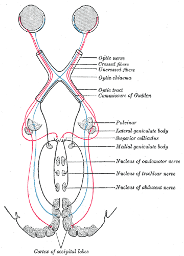 Source: Gray's anatomy, fig. 722, https://www.bartleby.com/107/illus722.html