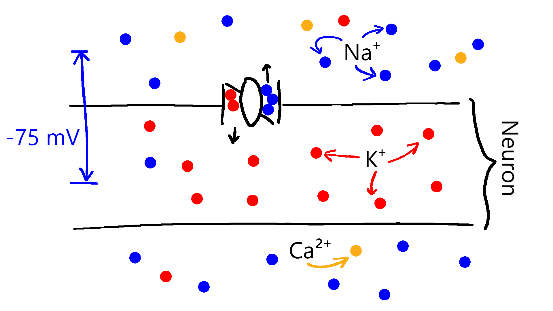 A crude depiction of a Na⁺-K⁺ pump, one of the mechanisms maintaining the ion balance in the neuron. Na⁺-K⁺ pump removes three Na⁺ ions for two K⁺ ions.